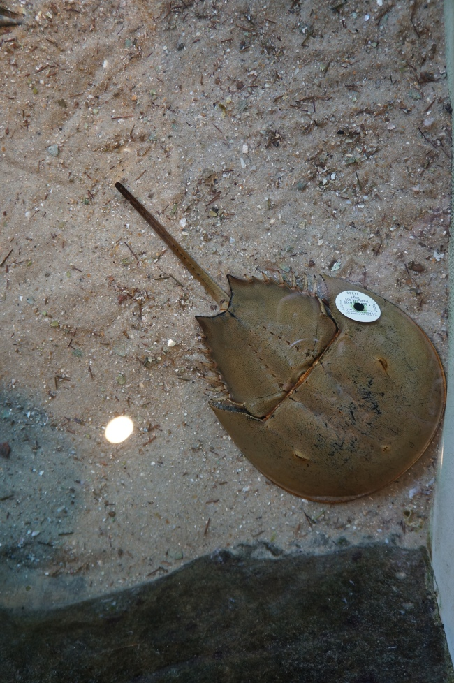 Horseshoe crab at South Carolina Aquarium in Charleston, South Carolina.