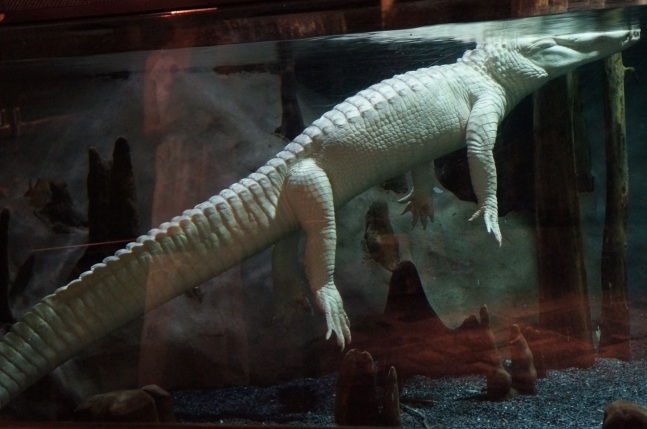 An albino American alligator at South Carolina Aquarium in Charleston, South Carolina.