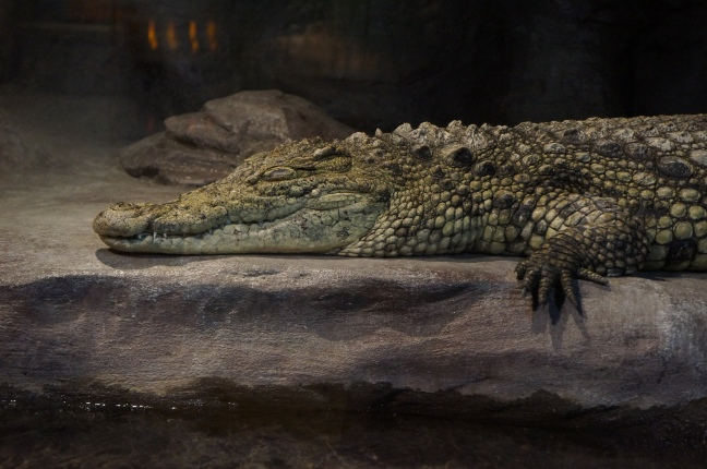 Crocodile at South Carolina Aquarium in Charleston, South Carolina.