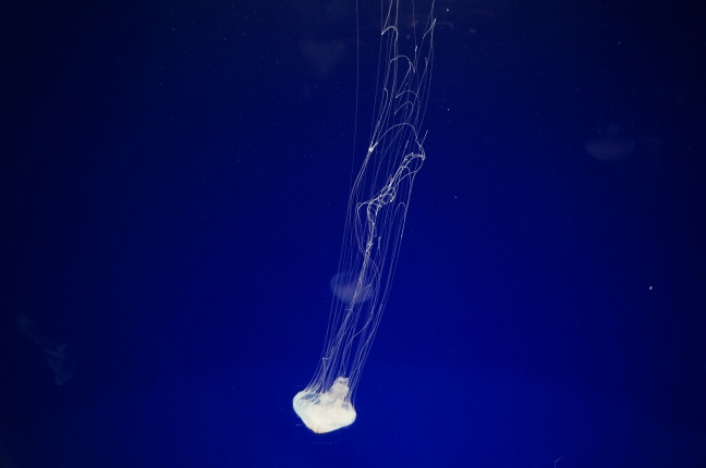 Jellyfish at South Carolina Aquarium in Charleston, South Carolina.