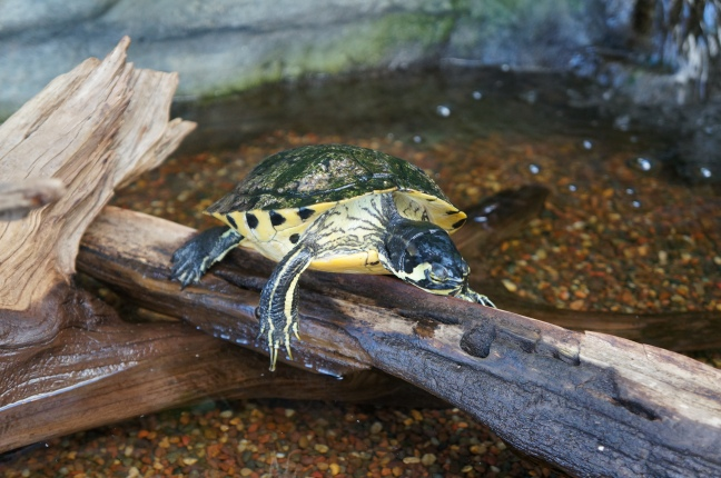 Turtle at South Carolina Aquarium in Charleston, South Carolina.