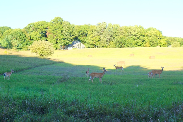 A mob of wild deer spotted in Harbor Springs on our way to Petoskey, Michigan.