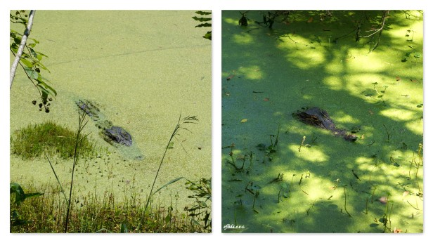 Alligator sightings at Audubon Swamp Garden in Charleston, South Carolina.