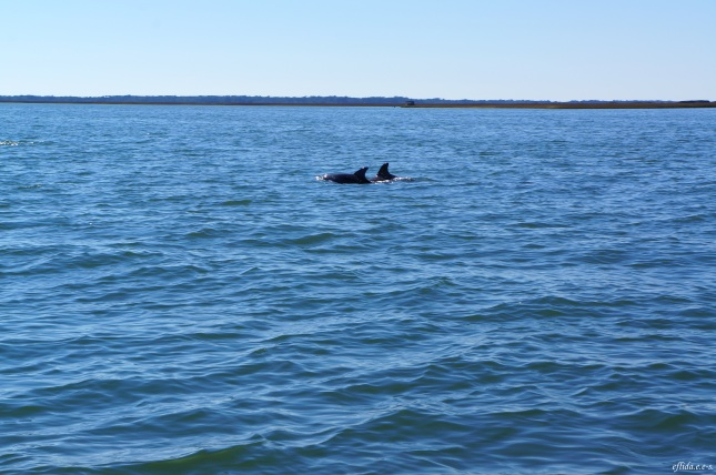 One of the many sightings of dolphins as we cruise Cape Lookout in North Carolina aboard Outer Banks Ferry.