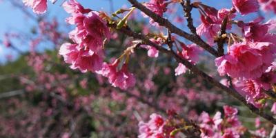 Cherry Blossoms (Sakura) at Mt.Yaedake, Motobu, Okinawa