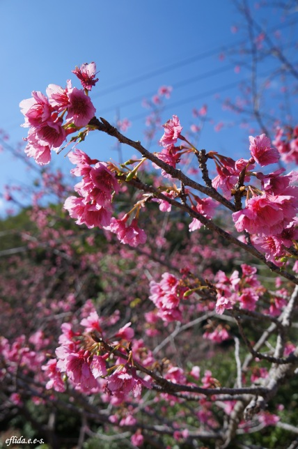 Cherry Blossoms (Sakura) at Mt.Yaedake, Motobu, Okinawa, Japan.