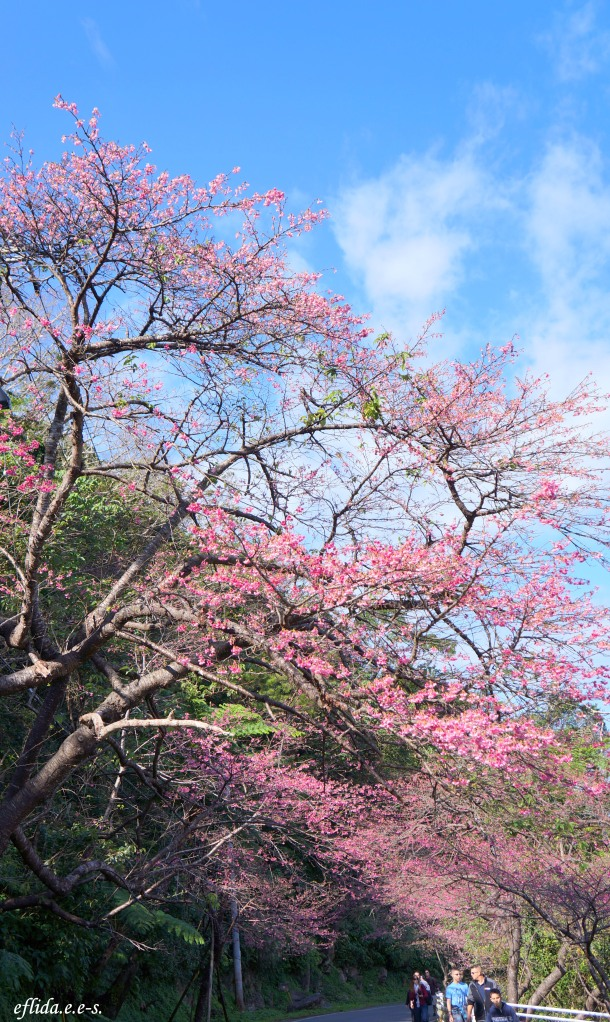 The street up to the top of Mt.Yaedake in Okinawa, Japan is 4.5 kilometers lined with 4000 Kanhi-Zakura Cherry trees on both sides by the Okinawa-US .Friendship Association.
