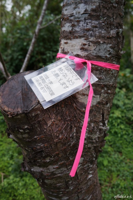 One of the cherry trees tied with pink ribbon at Mt.Yaedake, Motobu, Okinawa, Japan.