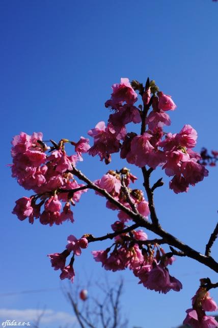 Cherry Blossoms (Sakura) at Mt. Yaedake, Motobu, Okinawa, Japan.
