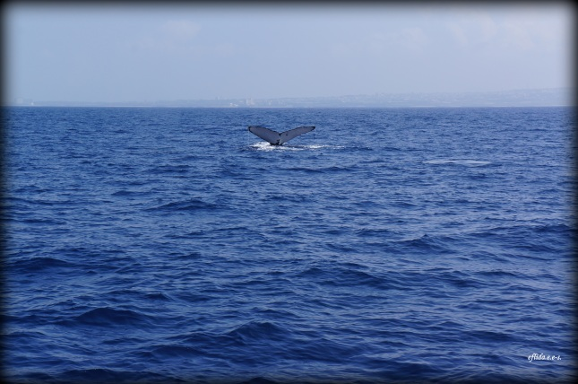 Humpback Whale Watching in Okinawa, Japan is a popular activity as they swim in the area for breeding around the months of January and April.