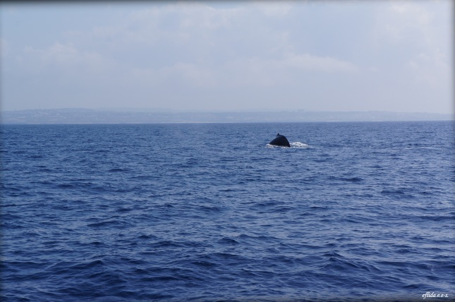 One of the humpback whales spotted in Okinawa, Japan.