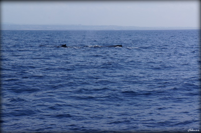 Giant humpback whales surfacing around Okinawa between January and April.