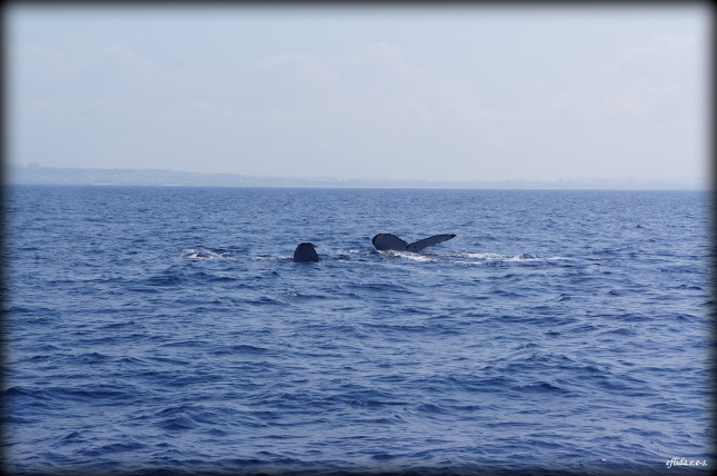 Some humpback whales sticking their flippers out of the water in Okinawa, Japan.