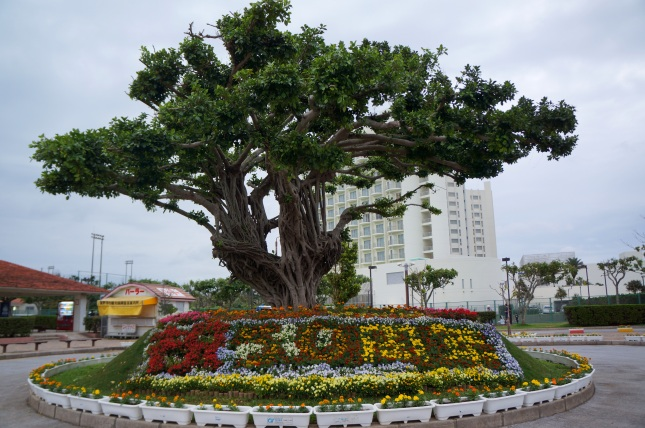 A beautifully manicured tree greets visitors coming to Okinawa Convention Center in Ginowan.