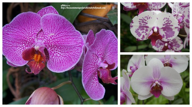 Some of the Phalaenopsis or Moth Orchids displayed at the Phalaenopsis Greenhouse inside the Tropical Dream Center in Ocean Expo Park in Motobu, Okinawa, Japan.