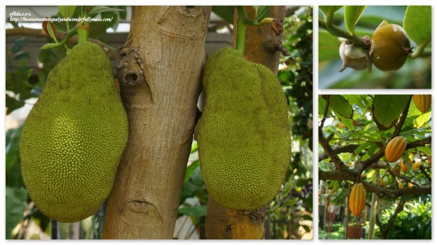 Some tropical fruits grown inside the Fruit Tree Greenhouse in Tropical Dream Center at Ocean Expo Park in Motobo, Okinawa, Japan. Jackfruit, which is the largest fruit in the world, and cacao are some of the fruits in showcase.