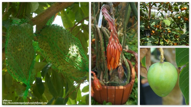 Some tropical fruits grown inside the Fruit Tree Greenhouse in Tropical Dream Center Guide at Ocean Expo Park in Motobo, Okinawa, Japan. Guanabana, Dragon Fruit and Mango are some of the fruits in showcase.