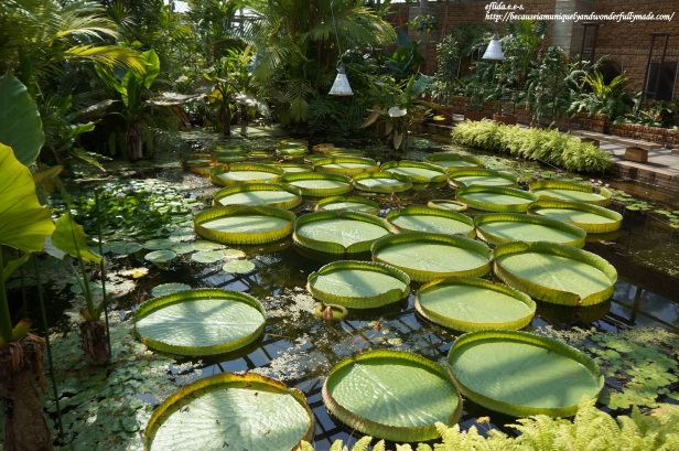 The Amazon water lily grown inside the Tropical Dream Center at Ocean Expo Park in Motobo, Okinawa, Japan.