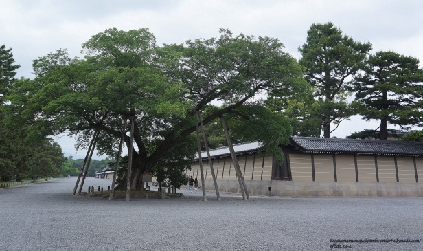 The 300 year old tree at the Kyoto Imperial Ground which is said to be the tree where a Choshu samurai warrior died a heroic death.