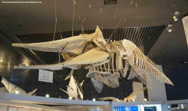 A display of the skeleton of the sperm whale at Churaumi Aquarium in Motobu District in Okinawa, Japan.