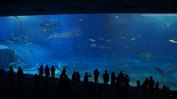 The Kuroshio Sea Tank is perhaps the main attraction at Churaumi Aquarium in Motobu District in Okinawa, Japan. It has a volume capacity of 7,500 cubic meters housing three whale sharks and a group of manta rays.