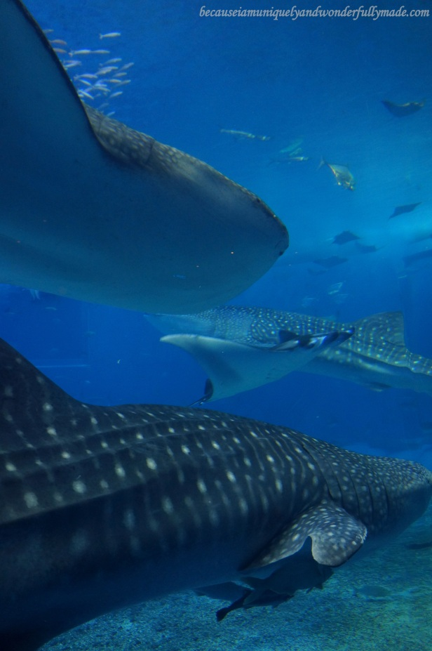 The three whale sharks inside the Kuroshio Sea Tank at Churaumi Aquarium in Motobu District in Okinawa, Japan.