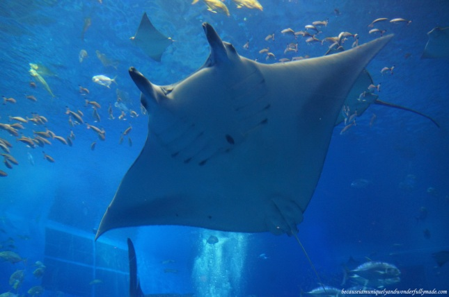 One of the giant manta rays inside the Kuroshio Sea Tank at Churaumi Aquarium in Motobu District in Okinawa, Japan.