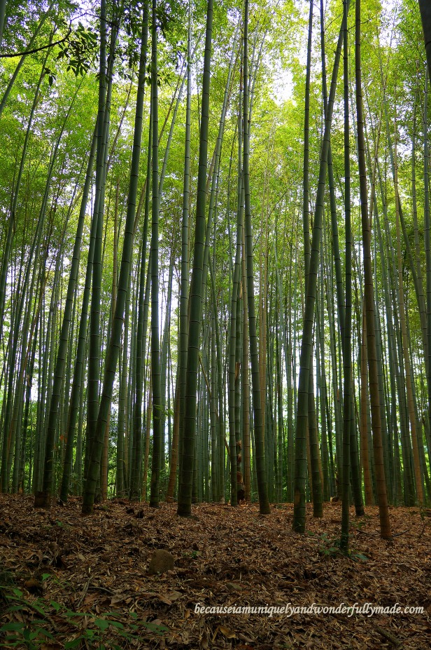 The Sagano Bamboo Forest 嵯峨野竹林 in Arashiyama District in Kyoto, Japan.