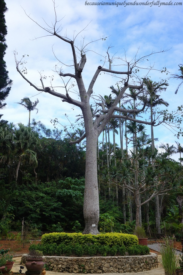 A baobab tree at Southeast Botanical Garden in Okinawa City, Okinawa, Japan. (東南植物楽園 Tōnan Shokubutsu Rakuen)