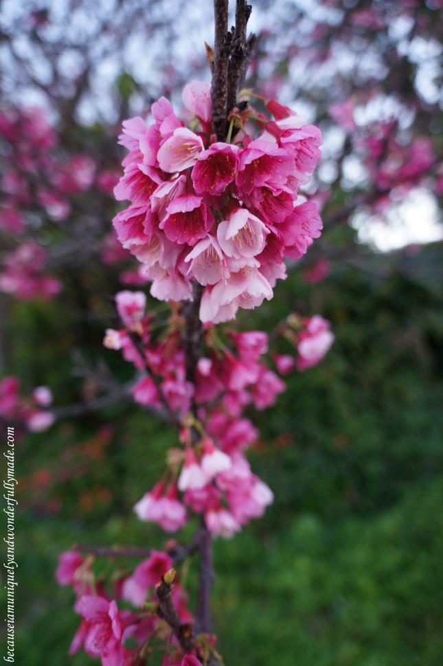 Cherry Blossom (Sakura) 桜 at Nakijin Castle 今帰仁城 in Okinawa, Japan.