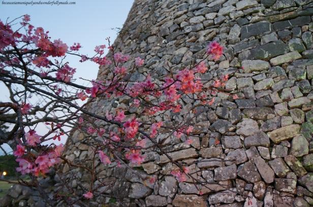 Cherry Blossom (Sakura) 桜 and the Nakijin Castle Wall 今帰仁城 in Okinawa, Japan.
