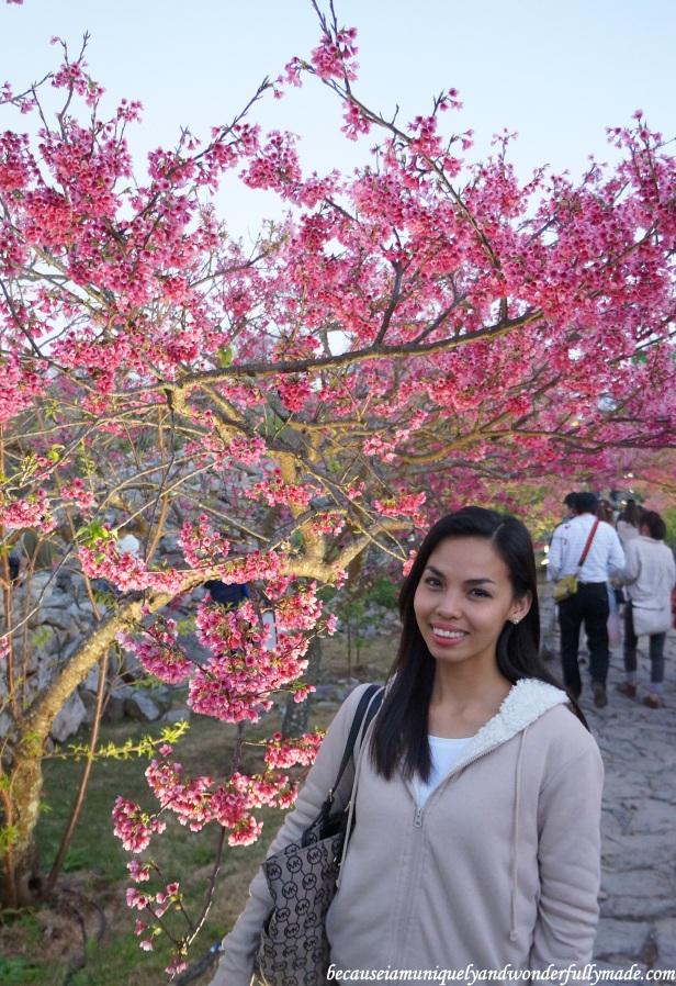 Cherry Blossom (Sakura) 桜 in full at Nakijin Castle 今帰仁城 in Okinawa, Japan.