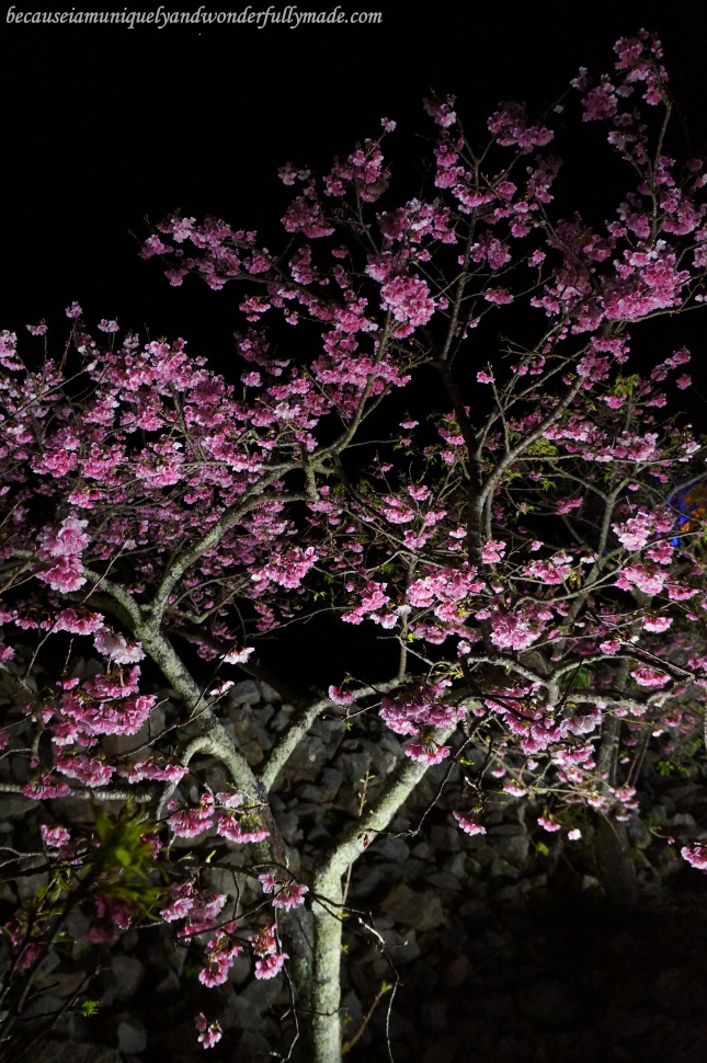 Cherry Blossom (Sakura) 桜 at Nakijin Castle 今帰仁城 in Okinawa, Japan.