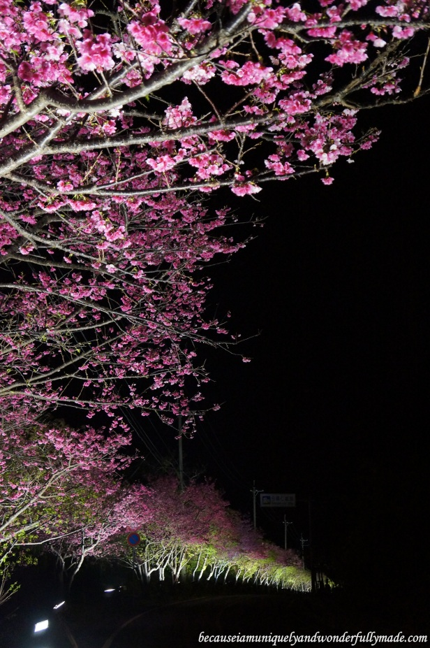 Cherry Blossom (Sakura) 桜 line up the road going down the hill at Nakijin Castle 今帰仁城 in Okinawa, Japan.