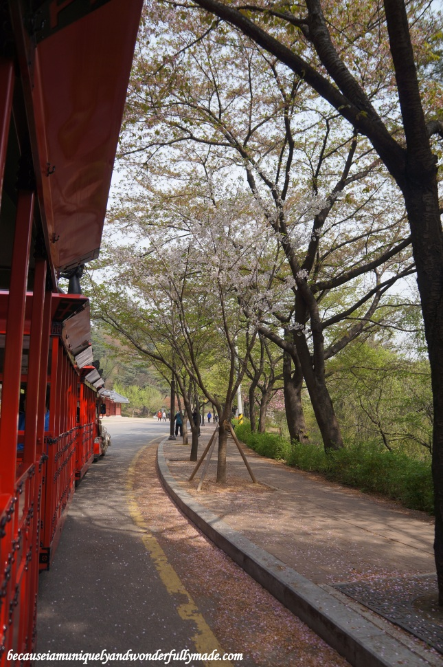 Marvelling at some cherry blossom left aboard the Hwaseong Train Tourist, a dragon train that travels between Paldalsan Mountain and Yeonmudae in Hwaseong Fortress [UNESCO World Heritage] (수원 화성 [유네스코 세계문화유산]) – Suwon 수원, South Korea.