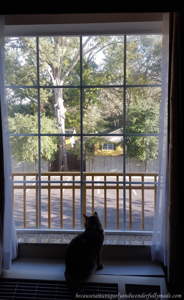 Sakura Rain, our adorable cat who is travelling with us. This is her looking out from the window of our hotel in Savannah, Georgia.
