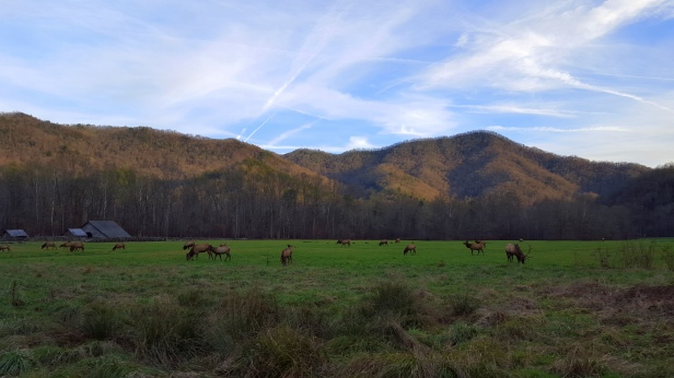 Herd of elk at The Great Smoky Mountain National Park.