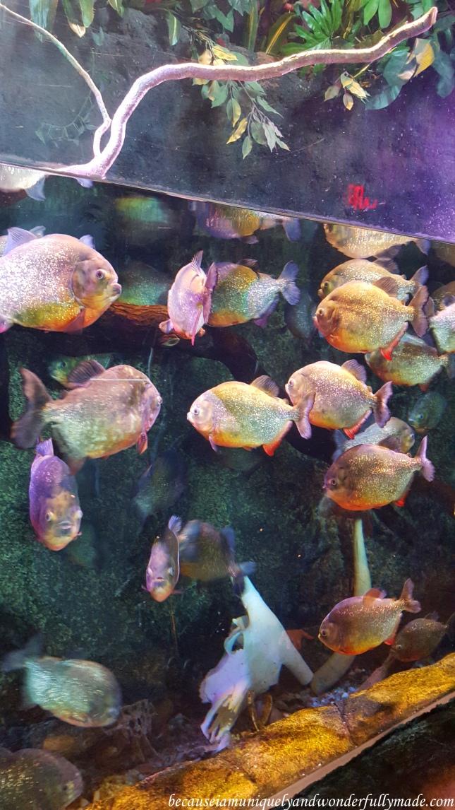School of piranha at Ripley's Aquarium of the Smokies in Gatlinburg, Tennessee.