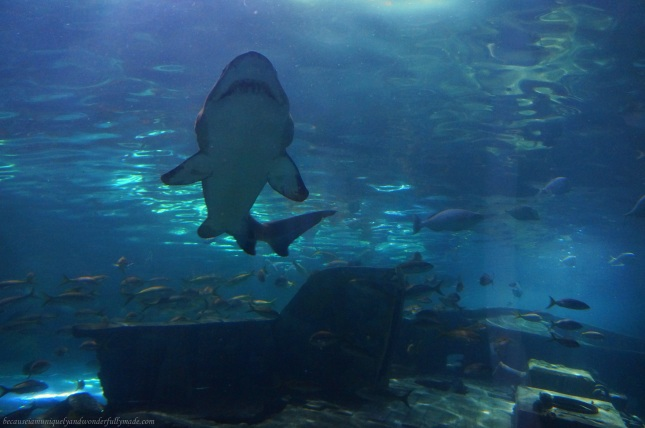 Enjoying the shoal of sharks and rays cruising right above our heads at Shark Lagoon of Ripley's Aquarium of the Smokies through an underwater acrylic tunnel travelling on a 340-foot glide path.  The aquarium is one of the most popular tourist spots in Gatlinburg, Tennessee.