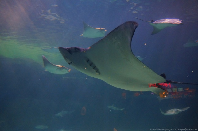 The shoal of sharks and rays cruising right above our heads at Shark Lagoon of Ripley's Aquarium of the Smokies through an underwater acrylic tunnel travelling on a 340-foot glide path. The aquarium is one of the most popular tourist spots in Gatlinburg, Tennessee.