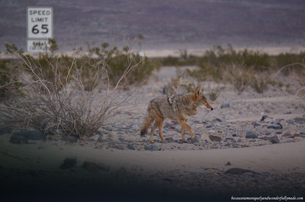 We made a slight detour to Panamint Valley Road at Death Valley National Park in California and saw two wild coyotes roaming. They were walking just inches away from our car! We returned to California Highway 190 later to proceed to Bakersfield for the night.