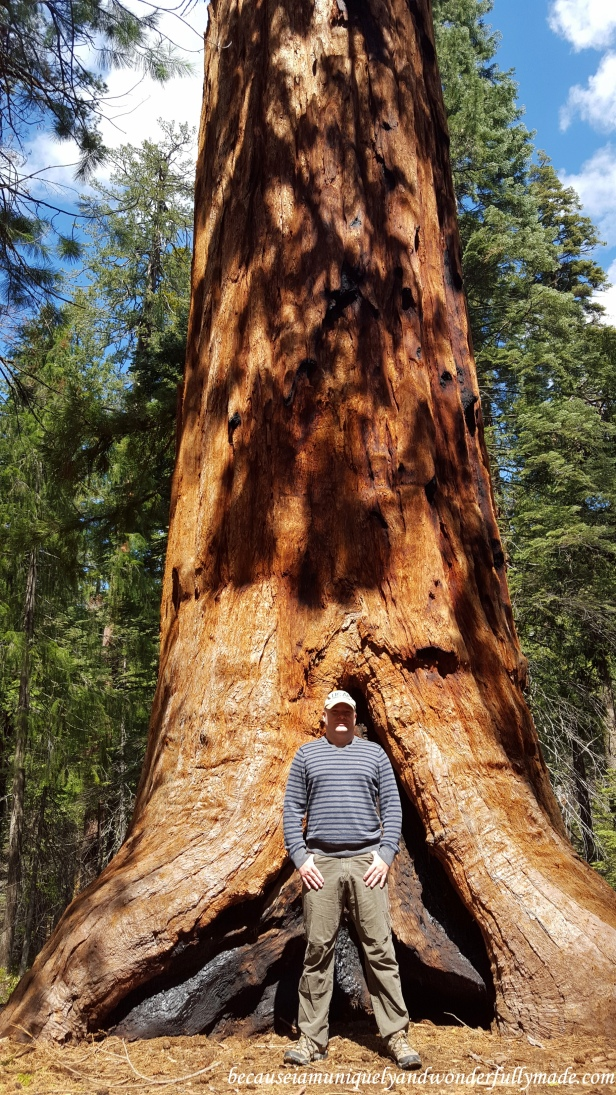The Pershing Tree at Placer County Sequoia Grove is 12 feet wide and is the largest tree in the grove.