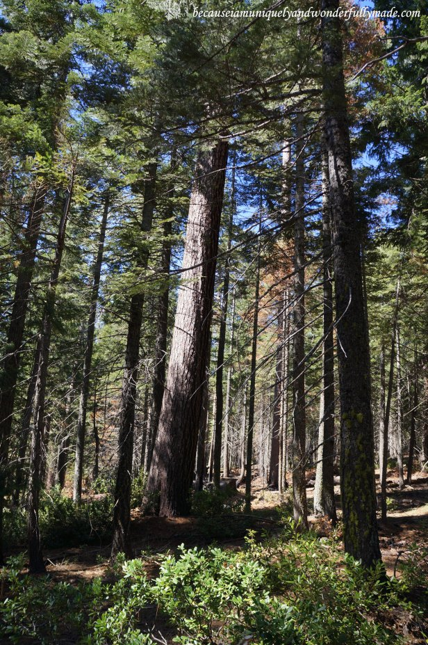 At the start of the Placer County Big Tree Grove Nature Trails.
