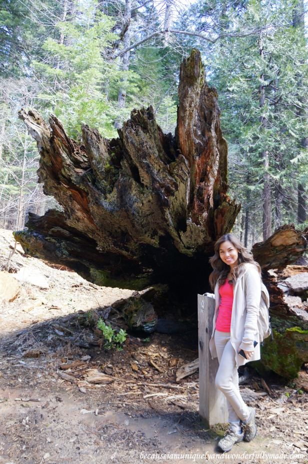 One of the two fallen sequoia trees at Placer County (Sequoia) Grove.