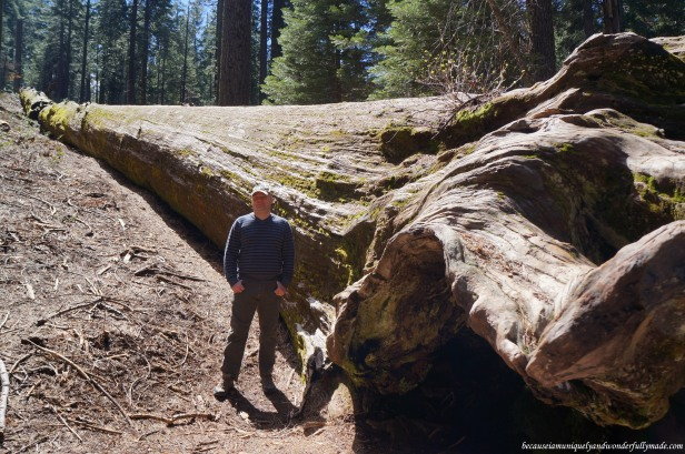 One of the two fallen sequoia trees at Placer County (Sequoia) Grove. Perhaps, the Roosevelt tree (?)