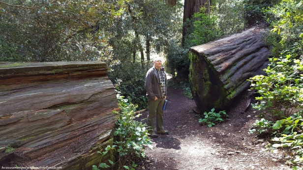 One of the fallen giant trees at Lady Bird Johnson Grove Trail in Klamath, California.
