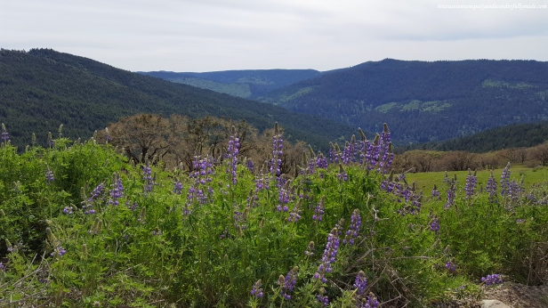 Picturesque mountain view and wild lupines along Bald Hills Road.