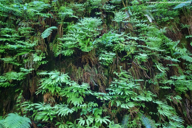 The walls of Fern Canyon is carpeted with ferns and moss that drips. Some of these fern species can be traced to be over 300 million years old.