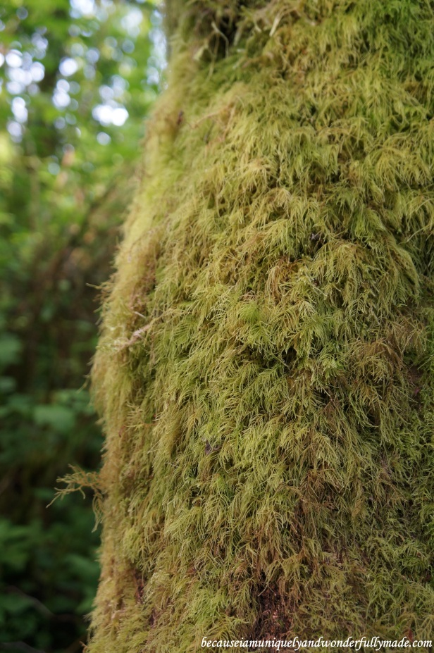 A close up of the moss carpeting the walls of Fern Canyon at Redwood National and State Parks in California.