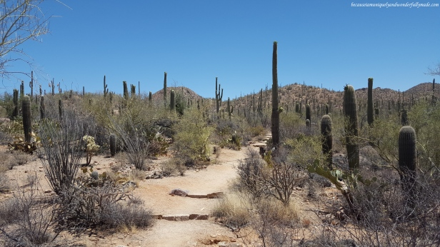The gradual ascending ridge while hiking the Valley Overlook trail at Saguaro National Park in Tucson, Arizona.